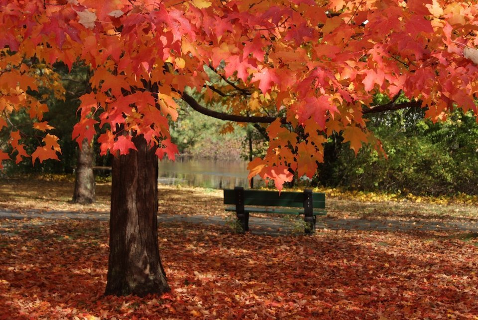 Sugar maple with bright orange leaves on tree and on ground surrounding tree. Bench in mid-ground between tree and a river.