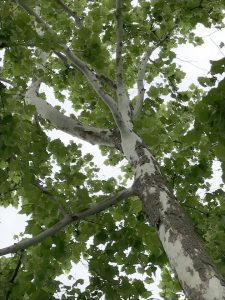 View up along trunk of tree with mottled bark and green leaves.