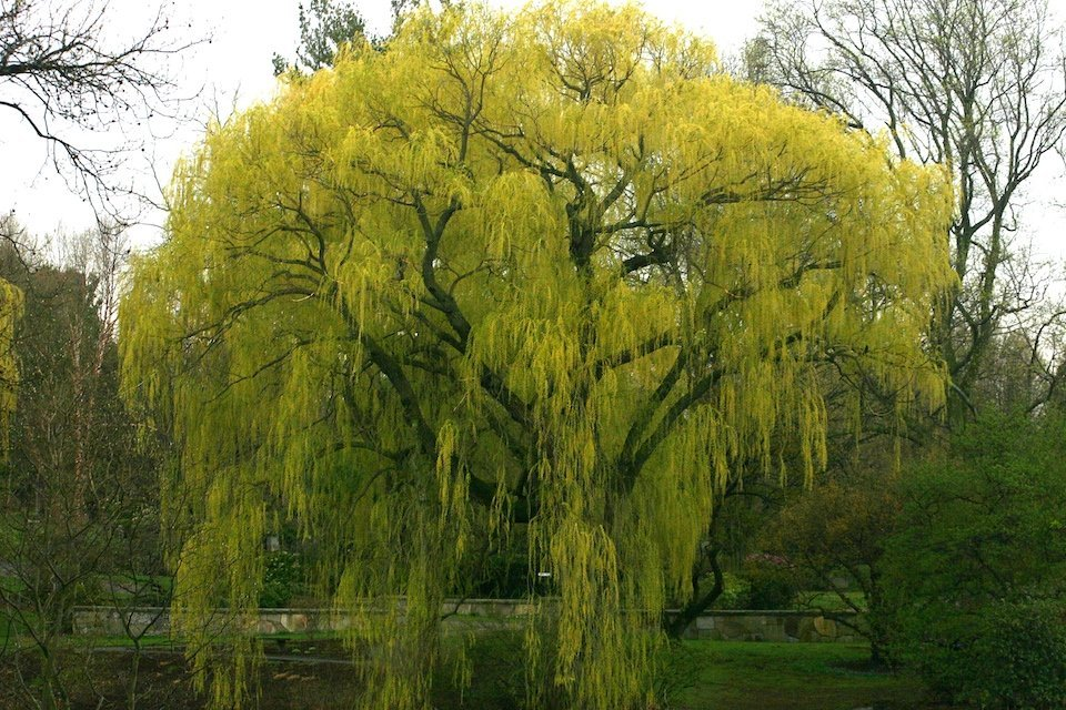 Willow by water with bright green leaves.